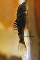 Pic. 14: Baryancistrus beggini (L239)