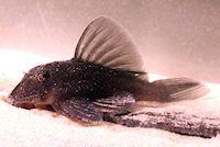 Pic. 15: Baryancistrus beggini (L239)