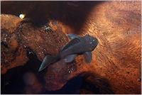 Pic. 11: Baryancistrus beggini (L239)