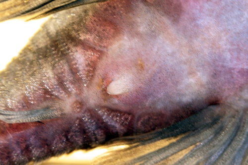 Baryancistrus beggini, Genitalpapille, Männchen