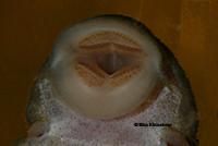 Bild 27: Baryancistrus chrysolomus (L 47)