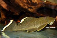 Bild 6: Baryancistrus chrysolomus (L47)