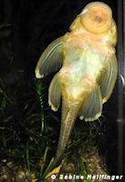 Bild 2: Baryancistrus chrysolomus (L47)