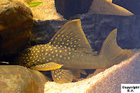 Bild 5: Baryancistrus demantoides (L200)