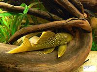 Bild 6: Baryancistrus demantoides (L200)