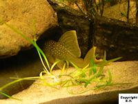 Bild 7: Baryancistrus demantoides (L200)