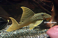Baryancistrus demantoides (L200)