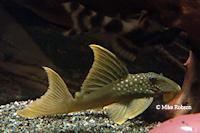 Bild 4: Baryancistrus demantoides (L200)