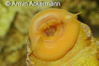 Bild 3: Baryancistrus xanthellus (L177 / LDA 59)