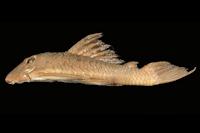 Baryancistrus longipinnis, Holotype, lateral