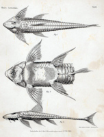 Bild 3: Brochiloricaria macrodon