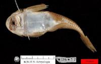 Bild 6: Chaetostoma aequinoctiale, Holotype, MNHN-IC-1904-0017