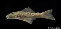 Chaetostoma bifurcum