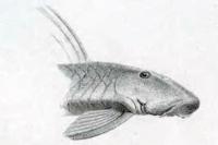 Chaetostoma branickii - Type