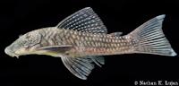 Chaetostoma dermorhynchus, Chaetostoma dermorhynchum