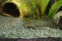 """Bild 4: Chaetostoma sp. aff. dorsale """"L443"""""""