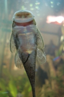"""Bild 5: Chaetostoma sp. aff. dorsale """"L443"""""""