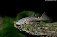 """Bild 7: Chaetostoma sp. aff. dorsale """"L443"""""""