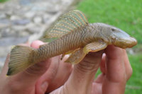 Chaetostoma dorsale,Santa María, Boyaca, Colombia