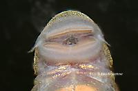 Bild 35: Chaetostoma formosae (L 444)