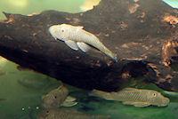 Bild 5: Chaetostoma formosae (L444)