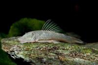 Bild 6: Chaetostoma formosae (L444)