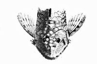Bild 2: Chaetostoma guairense