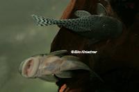 Bild 6: Chaetostoma joropo (L445)