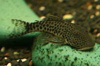 Bild 7: Chaetostoma joropo (L445)