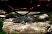 Bild 3: Chaetostoma joropo (L445)