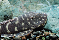 """Pic. 3: Chaetostoma sp. """"L455"""""""