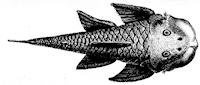 Bild 3: Chaetostoma loborhynchos