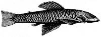 Chaetostoma