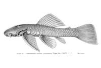 Chaetostoma pearsei (L 187)