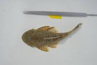 Bild 3: Chaetostoma sovichthys