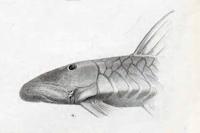 Chaetostoma stannii