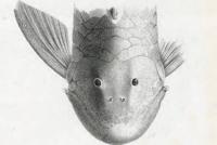 Bild 3: Chaetostoma stannii