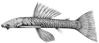 Chaetostoma thomsoni