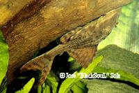 "Bild 2: Cochliodon sp./Hypostomus sp. ""Bolivien"""