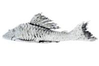 Hypostomus ericae, sp. n. MNRJ 27861, holotype (164.3 mm SL)