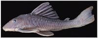 Hypostomus fonchii, UMSS 00360, 154.0 mm SL, río Chipiriri, río Mamoré basin, Bolivia