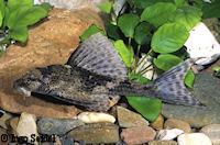 Cochliodon hemicochliodon/Hypostomus hemicochliodon