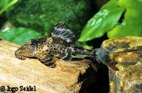 Bild 3: Cochliodon hemicochliodon/Hypostomus hemicochliodon