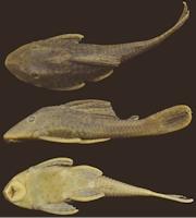 Bild 3: Cochliodon khimaera/Hypostomus khimaera