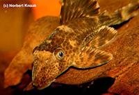 "Bild 2: Cochliodon/Hypostomus sp. ""L229"""