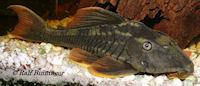 "Bild 4: Cochliodon sp./Hypostomus sp. ""L360"""
