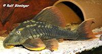 "Bild 5: Cochliodon sp./Hypostomus sp. ""L360"""