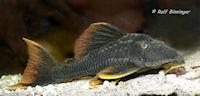 "Bild 7: Cochliodon sp./Hypostomus sp. ""L360"""