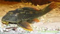 "Bild 8: Cochliodon sp./Hypostomus sp. ""L360"""