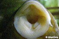 Bild 37: Cochliodon macushi (L 303)